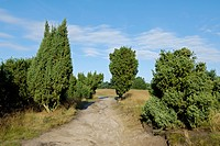 common juniper, ground juniper Juniperus communis, sandy path in heathland with juniper, Germany, North Rhine_Westphalia, Nature Reserve Westruper Hei...