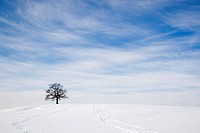 oak tree on snowy hill in winter