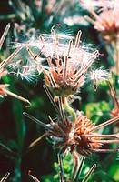 atomic snowflake geranium, Rose_scented Geranium, Scented Geranium, Pelargonium capitatum, infructescence