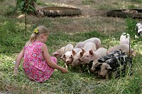 domestic pig Sus scrofa f. domestica, free range pigs feeded by a girl