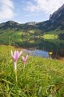 meadow saffron Colchicum autumnale, blooming, mountain landscape, Switzerland, Berner Alpen, Waegitaler See