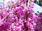 Chinese Redbud Cercis chinensis, blooming
