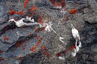 muskox Ovibos moschatus, fur on lichens, Canada, Nunavut, Cambridge Bay