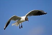 black_headed gull Larus ridibundus, single animal on the feed, Kazakhstan