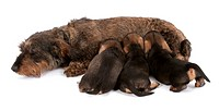 dachshund, sausage dog, domestic dog Canis lupus f. familiaris, mother nursing three puppies