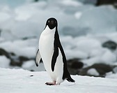 adelie penguin Pygoscelis adeliae, portrait of a curious single animal, Antarctica, Antarctic Peninsula
