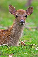 sika deer Cervus nippon, calf of Sika Deer, Germany, Hesse, Tierpark,