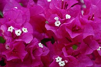 paper plant, four_o´clock Bougainvillea_Hybride, coloured bracts and blossoms