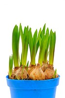 Grape Hyacinth bulbs (Muscari)