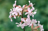 bouncingbet, bouncing_bet, soapwort Saponaria officinalis, inflorescence, Germany