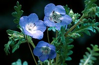 baby blue eyes Nemophila menziesii, blossoms and leaves