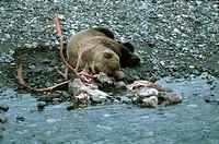 grizzly_bear Ursus arctos horribilis, sleeping at the carcass of a caribou, USA, Alaska