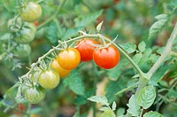 garden tomato Solanum lycopersicum, Lycopersicon esculentum, ripe and unripe fruits