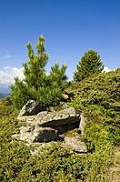 Young Swiss Pine (Pinus cembra), Jerzens, Wenner Berg Alpe, Pitztal, Tyrol, Austria, Europe