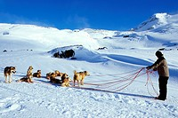 Greenland Dog Canis lupus f. familiaris, leader of a dogsled during his reorganizing work, Greenland