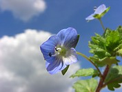 buxbaums speedwell, Persian speedwell Veronica persica, flower against cloudy sky