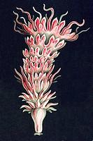 Titel Discomedusae scyphozoans jellyfish Desctiption Discomedusae / Scheibenquallen, Ernst Haeckel, Kunstformen der Natur MK Art Forms of Nature, Erns...