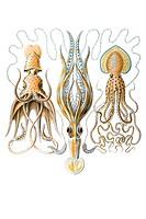 Titel Gamochonia octopus Desctiption Gamochonia / Trichterkraken, Mitte 1/ Chiroteuthis Veranyi, Fam Zehnarmkraken / Decolenae, links 2/ Histioteuthis...