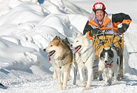 Siberian husky Canis lupus f. familiaris, woman clambering pass with her team of dogs, Alpentrail 2004, Italy, Sesto