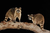 Northern Raccoon (Procyon lotor), pair at night standing on log, Refugio, Corpus Christi, Texas, USA