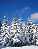Fir trees, forest, snow-covered winter landscape, fresh snow