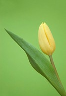common garden tulip Tulipa gesneriana, yellow blossom