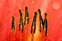 orange lily Lilium bulbiferum, stamens