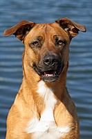 domestic dog Canis lupus f. familiaris, Malinois half breed, portrait