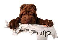 Shar Pei, Chinese Shar_Pei Canis lupus f. familiaris, chewing a newspaper