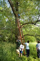 Boy Scouts hang a box in a tree to make a nesting site for a duck, Redford Township, Michigan, USA