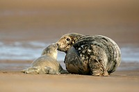 gray seal Halichoerus grypus, newborn and mother sniffing at each other, United Kingdom, Lincolnshire, Donna Nook