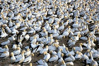 Cape gannet Morus capensis, colony at Lambert´s Bay, South Africa, Western Cape