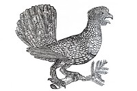 Woodcut, wild cock, rooster, from: Conrad Gesner, Historia Animalum, 1551, Germany, Europe