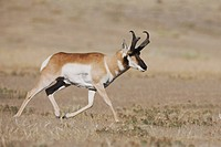 Pronghorn (Antilocapra americana), male running in prairie, Yellowstone National Park, Wyoming, USA