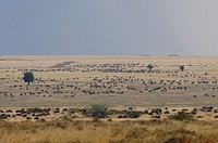 herds on savanna, panoramic view, Kenya, Masai Mara National Reserve, Narok