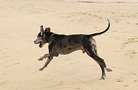 Great Dane dog. Hendaya beach, Aquitanaine. Francia