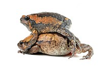 chubby frog, Asian painted frog Kaloula pulchra, couple