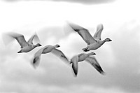 snow goose Anser caerulescens, Chen caerulescens, four geese flying, USA, New Mexico, Bosque del Apache