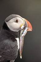 Atlantic puffin Fratercula arctica, with fish in bill, Iceland
