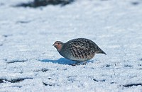 grey partridge Perdix perdix, in snow