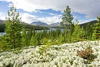 mountain scenery in the Atnedalen with forest and reindeer lichens, Norway, Hedmark, NP Rondane
