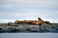 walrus Odobenus rosmarus, little colony on rocky shore, Norway, Spitsbergen