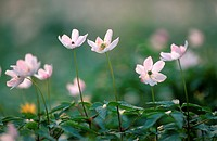 wood anemone Anemone nemorosa, some pink blossoms