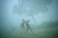 eastern gray kangaroo Macropus giganteus, two animals fighting in morning mist
