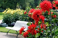 blooming red dahlia, Germany, Baden_Baden
