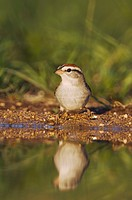 Chipping Sparrow (Spizella passerina), adult drinking, Uvalde County, Hill Country, Central Texas, USA