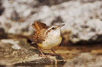 Carolina Wren (Thryothorus ludovicianus), adult bathing, Uvalde County, Hill Country, Central Texas, USA