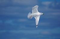 A herring gull Larus argentatus.