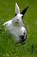 Dwarf Rabbit on a meadow