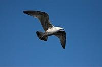 Seagull (Laridae), Texel Island, Holland, Netherlands, Europe